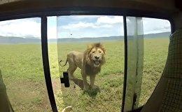 Турист решил погладить льва