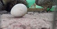 Фазаниха снесла яйцо
