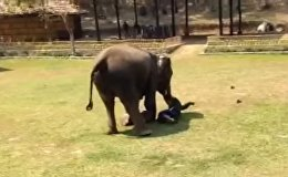 Слон заступился за мужчину