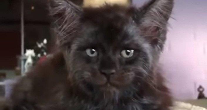 Мейн-кун: кот с человеческим лицом стал мемом