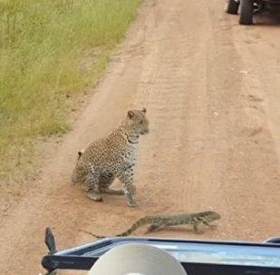 Схватка варана и леопарда