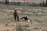 Бүркітшілер жарысы кезінде жыртқыш құс балаға бас салды - видео