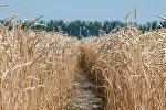 Пшеница, архивное фото