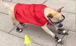 Лапы спорту не помеха - змейка в исполнении пса-роллера