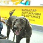 Видеомост с участием собаководов Бишкека, Еревана и Астаны на тему: Как восстанавливают национальные породы собак в разных странах?