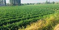 Диқаншылықты кәсіп еткен ауыл 145 гектар егістік жерді игеріп отыр