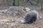 Поединок дикобраза и гепарда