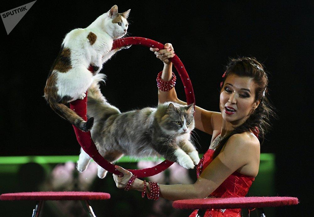 Номер с кошками на арене Московского цирка Никулина на Цветном бульваре в Москве