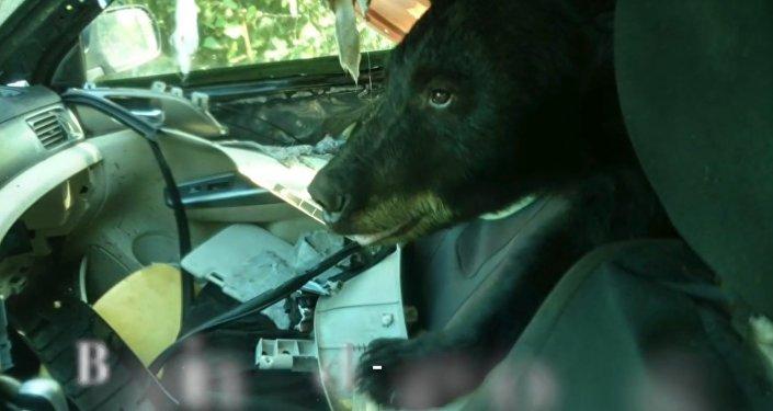 Медвежонок забрался в автомобиль в поисках бананов