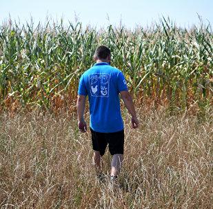 Фермер на кукурузном поле, архивное фото