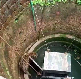 Ит өзін жеп қоя жаздаған леопарды құтқарды - видео