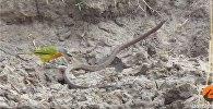Птица расправилась со змеей