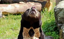 Малайский медведь, иллюстративное фото