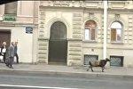 Санкт-Петерборда көшеде кетіп бара жатқан қой желі қолданушыларының көңілін көтерді