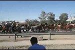 Табун лошадей перегнали по улице