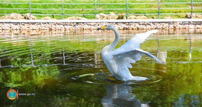 Лебеди, проживающие в Столичном парке