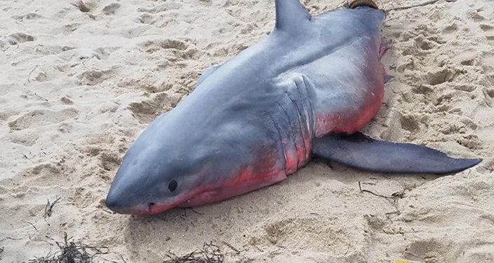 Қызыл акула