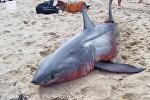 Акула красного цвета найдена в США