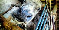 Корова, архивное фото