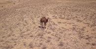 Дроном вернули потерявшегося верблюжонка