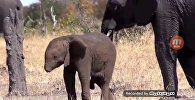 Слоненок без хобота