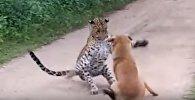Собака атаковала леопарда