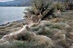 Пауки оккупировали побережье в Греции