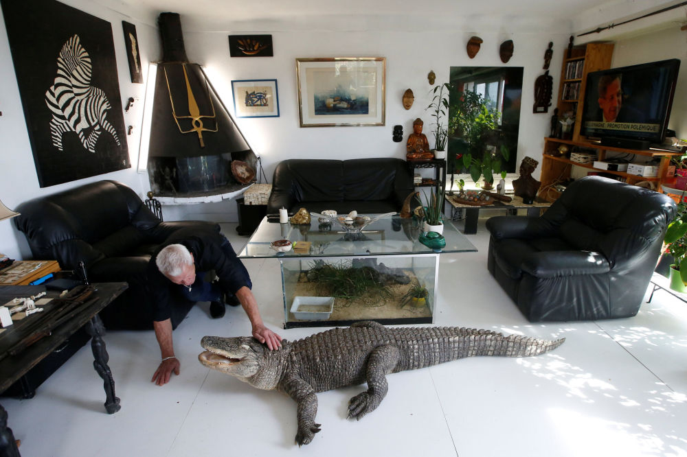 67-летний француз Филипп Жилле кормит курицей аллигатора по имени Али в своем доме в Куэроне близ Нанта