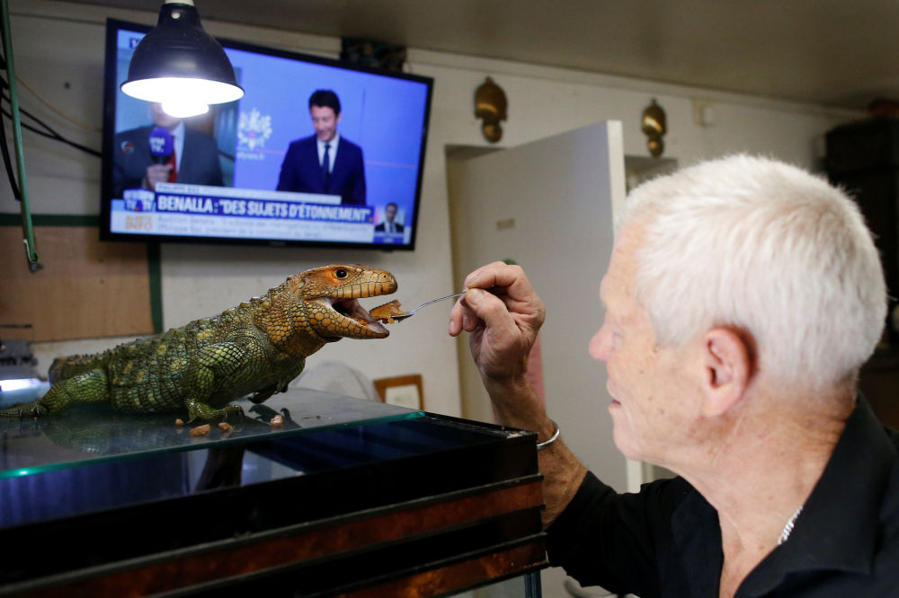67-летний француз Филипп Жилле с каймановой ящерицей в своем доме в Куэроне близ Нанта
