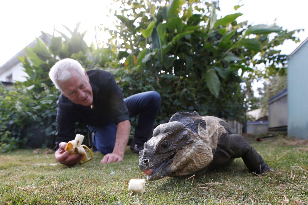 67-летний любитель рептилий Филипп Жилле кормит игуану в саду своего дома во французском городе Куэрон