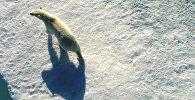 Белым медведям грозит вымирание