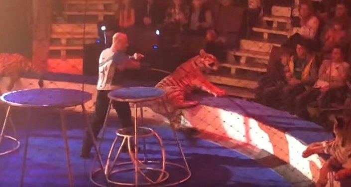 У циркового тигра случился припадок