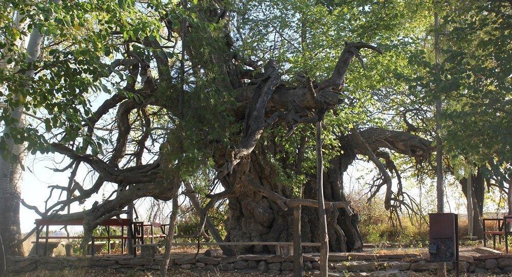 1300 жылдан бері өсіп тұрған тұт ағашы дұға етіп, тілек тілейтін орынға айналды