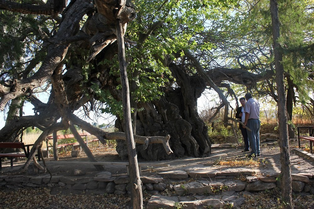 Тұт ағашы ЮНЕСКО қарауына енуі мүмкін