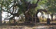 Тысячелетнее дерево растет в Кентау, Туркестанской области