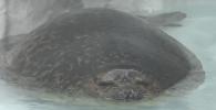 Толстый тюлень влюбил в себя миллионы посетителей океанариума