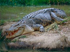 Соленеводный крокодил