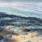 Голубые медузы на пляже залива Десепшен Бэй в Квинсленде, Австралия.