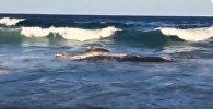Акула выбросилась на берег, чтобы подкрепиться мертвым китом