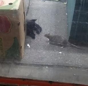 Дерзкая крыса напала на кошку