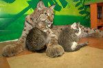 Рысь выкармливает домашних котят