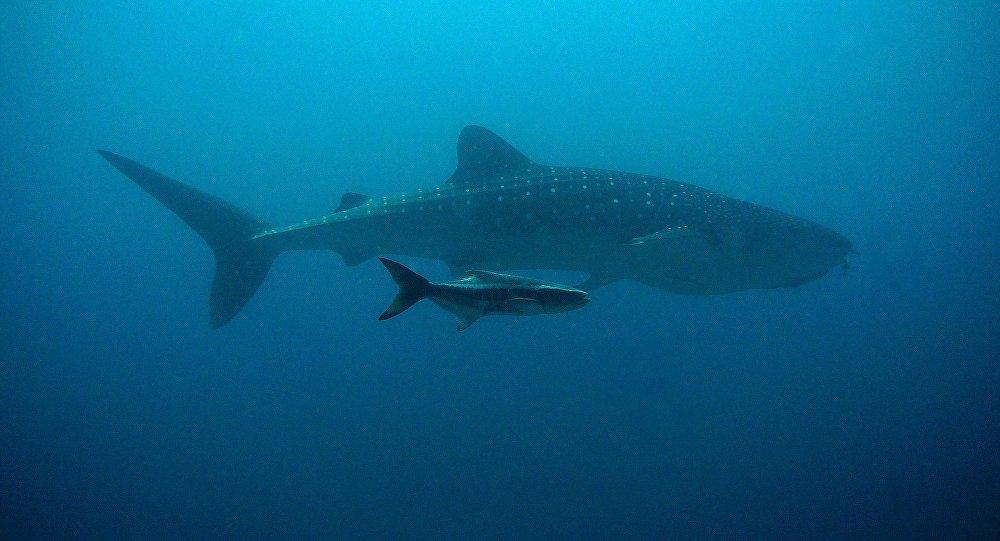 Китовая акула, иллюстративное фото