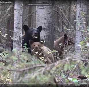 Охотник едва не стал жертвой медведицы