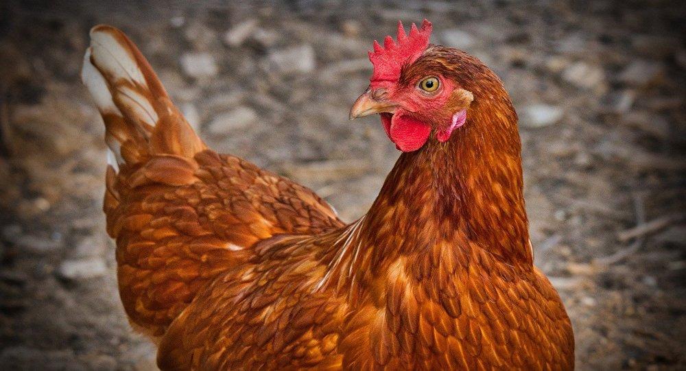 Курица, иллюстративное фото