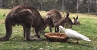 Тотықұс кенгурудың тамағын тартып алды