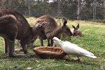 Попугай отобрал еду у кенгуру