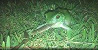 Как маленький лягушонок съел большую змею - видео