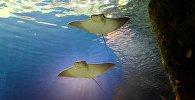 Архивное фото морских скатов