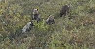 Собака подружилась с медведями