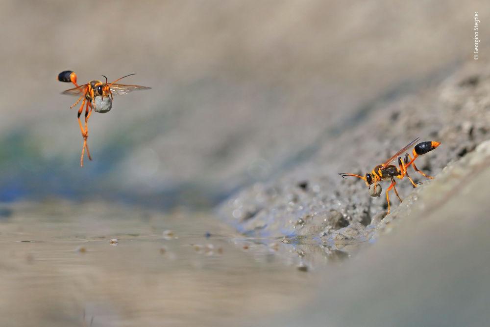 Снимок Mud-rolling mud-dauber  австралийского фотографа Georgina Steytler, победивший в категории Behaviour: Invertebrates фотоконкурса 2018 Wildlife Photographer of the Year